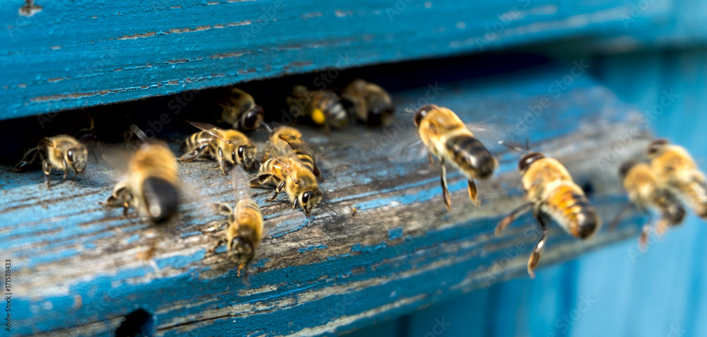 Fototapety, obrazy: Life of bees. Worker bees. The bees bring honey.