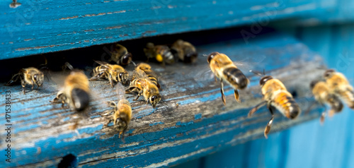 Photo Stands Bee Life of bees. Worker bees. The bees bring honey.
