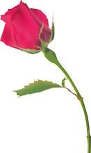 Single Deep Red Rose Bud Isola...