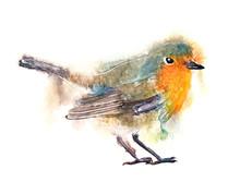 Watercolor Art Illustration With Robin Bird