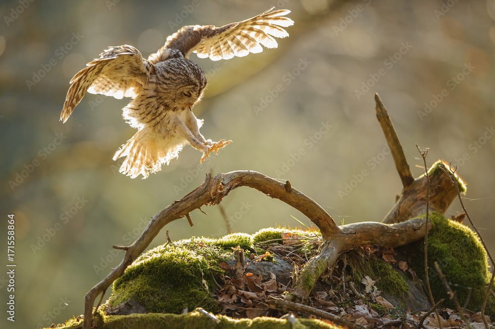 Landing Tawny owl with outstretched wings