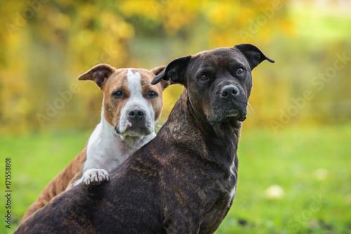 Obraz American staffordshire terrier dogs in autumn - fototapety do salonu