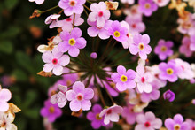 Pink Soapwort (Saponaria Officinalis) Blooming On The Garden Closeup