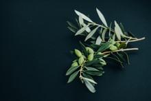 Closeup Olive Branch On Black ...