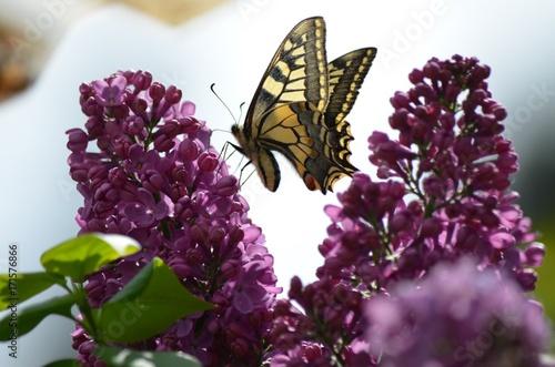 kwiaty-bzu-w-obecnosci-pieknego-motyla