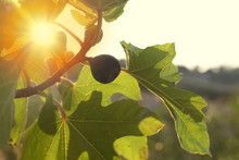Fig Growing On Tree In The Sun...