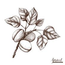 Vector Apricot Vintage Sketch.