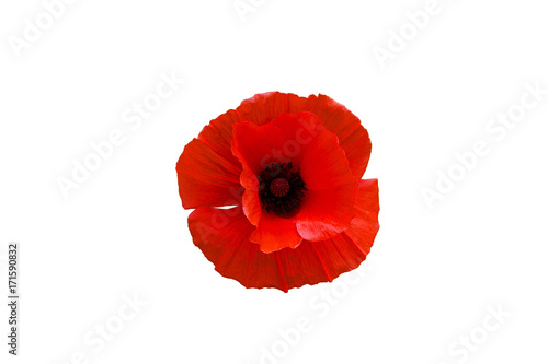 Montage in der Fensternische Mohn Red poppy flower isolated on white background