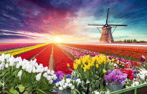 Landscape with tulips, traditional dutch windmills and houses near the canal in Zaanse Schans, Netherlands, Europe Poster