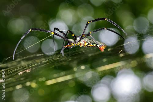 Plakat Obraz Pająk Nephila Maculata, Gaint Long-jawed Orb-tkacz (kobieta) w sieci. Owad zwierzę