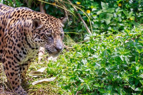 Plakat Tygrys jaguar w lesie.