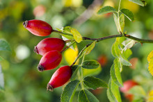 Photo Of Shrubs Of Rosehip In ...