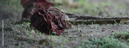 Valokuva  Rote Rose Verwelkt