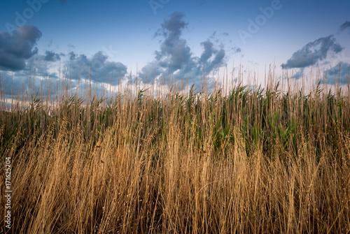 Fototapeta Spighe di grano in campagna