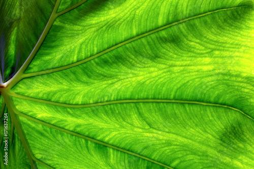 Fotografering  Foglia di pianta in texture