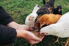 Chickens Feeding From Woman's ...
