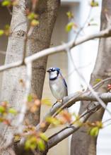 Beautiful Blue Jay Bird Sittin...