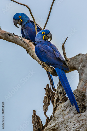 Hyacinth Macaw (Anodorhynchus hyacinthinus) lives in the biomes of the Amazon and especially in the Cerrado and Pantanal. This species is threatened with extinction. Captive animal. Wall mural