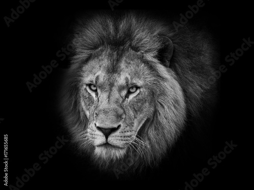 Fototapety, obrazy: Lion head black and white