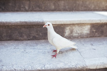 Beautiful White Pigeon