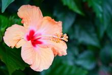 Orange Hibiscus Flower In Bloom