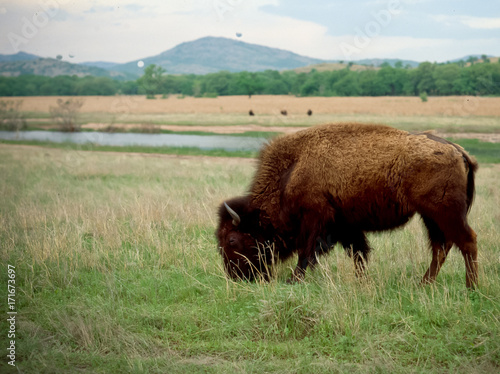 Buffalo in the Wichita Mountains Fototapet