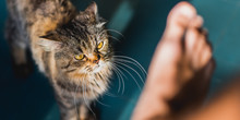 Cat Vs Human. Angry Cat Aggressively Looks At A Bare Foot. Tabby Male Cat With Yellow Eyes, Long Hair Ready To Assault. Concept Of Animal Rights Protection, Human Injustice To Animals & Cats' Dignity