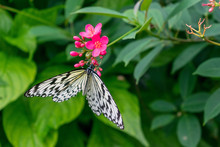 Paper Kite Butterfly Getting N...