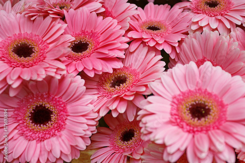 Foto op Plexiglas Gerbera Pink gerbera flowers close up.