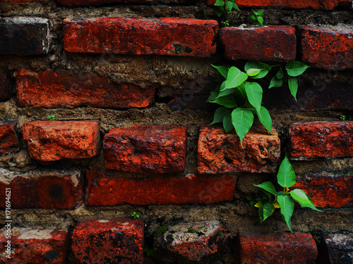 Fototapeta Close up old ancient historic dark red grungy grainy texture rough brick wall background, black dirty stained groove, with green tree sprout spread growing