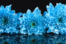 Blue Chrysanthemum Flowers On ...