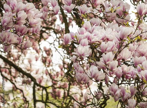 Plakat Magnolie (Magnolia)