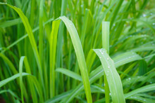 Lemon Grass Plant Green Leaf B...