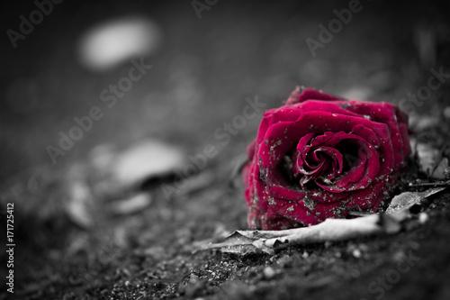 Rose auf Friedhof