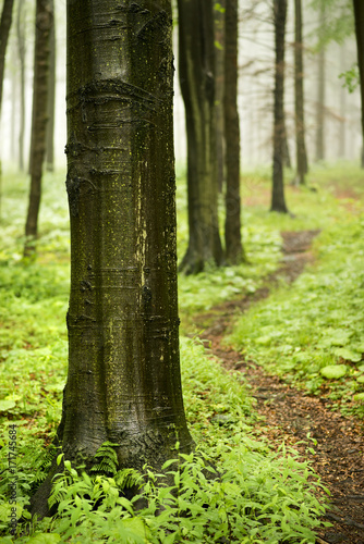 Path Among Trunks Wood In Forest After Rain Buy This Stock Photo