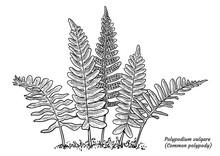 Common Polypody Fern Illustrat...