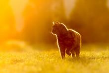 Katze Vor Sonnneuntergang, Romantisch