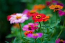 Red Zinnia Flower, On Blurry N...