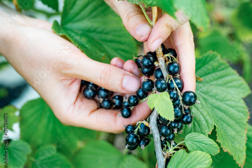 Photo Farmer's hands collecting ripe blackcurrant from the bush