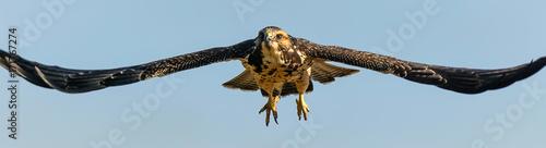 Photo  Hawk - Soar