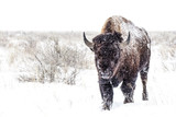 Cold Walk - American Bison - 171767605
