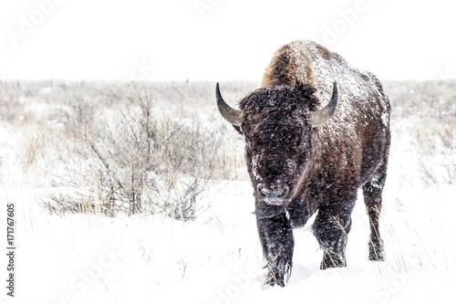 Cold Walk - American Bison