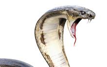 3d King Cobra The World's Long...