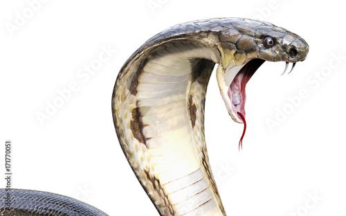 Fototapeta premium 3d King Cobra Najdłuższy na świecie jadowity wąż na białym tle, King Cobra Snake, ilustracja 3d, renderowanie 3d
