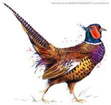 Bird Pheasant. Watercolor Illustration