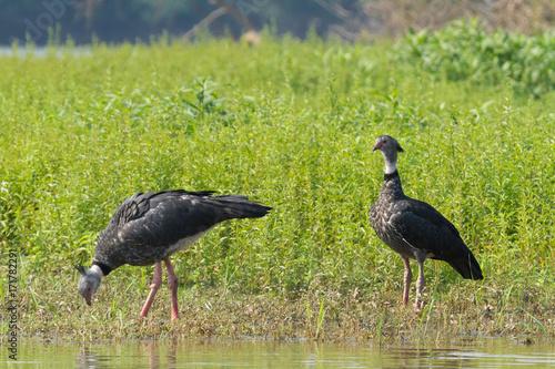 Fotografija  Brazilian Pantanal - Southern screamer