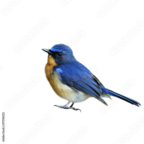 Hill blue flycatcher (Cyornis banyumas) beautiful tiny blue bird fully standing isolated on white background, fascinated nature