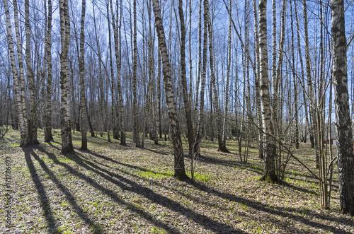 Papiers peints Bosquet de bouleaux Birch Grove. Sunny day in April.
