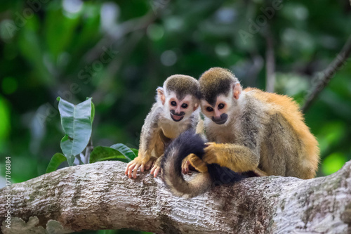 Photo  pair of baby squirrel monkeys in tree smiling and huddled together