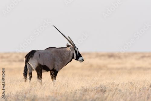 Foto op Aluminium Antilope Oryx